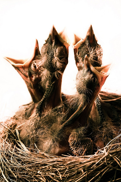 Werwin-hungry-baby-birds-640